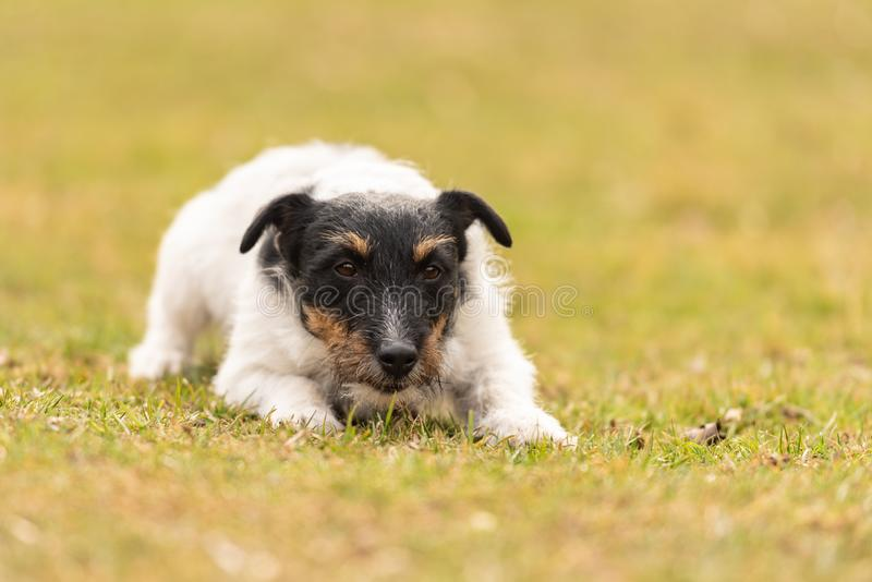 Maschio del terrier di Jack Russell Il cane si trova con la sua testa sulla terra fotografie stock