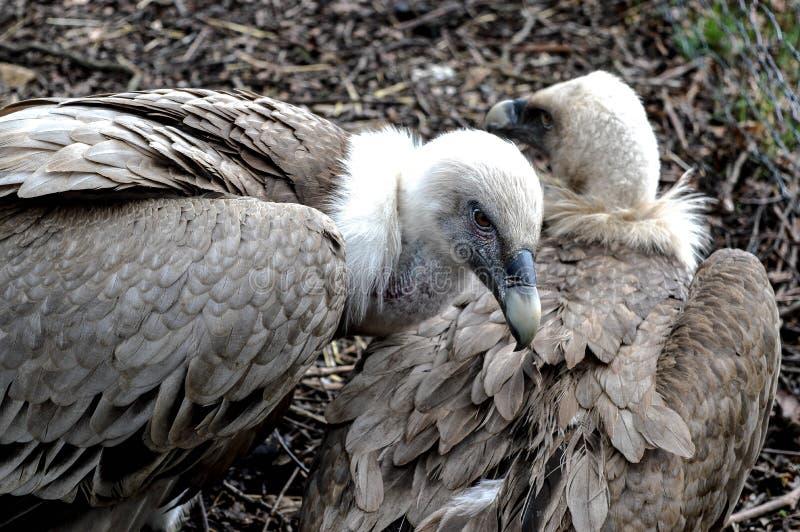 Maschio dell'avvoltoio che guarda fuori per il compagno dei hes fotografia stock libera da diritti