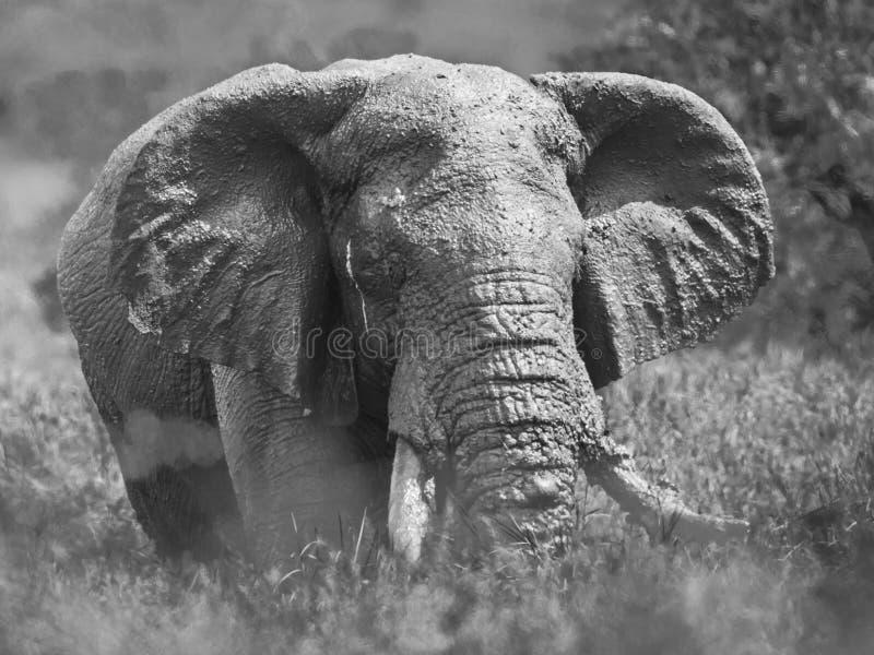 Maschio dell'elefante africano dopo il bagno di fango fotografia stock libera da diritti