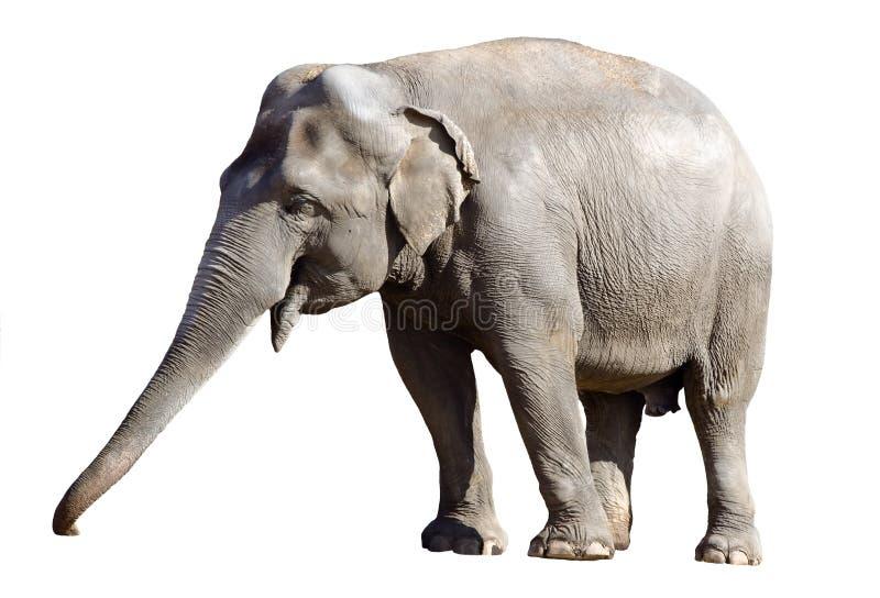 Maschio dell'elefante asiatico fotografia stock libera da diritti