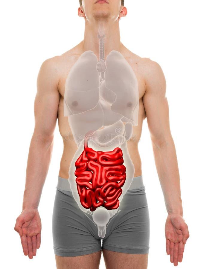 Maschio dell'intestino tenue - anatomia degli organi interni - illustrazione 3D fotografia stock