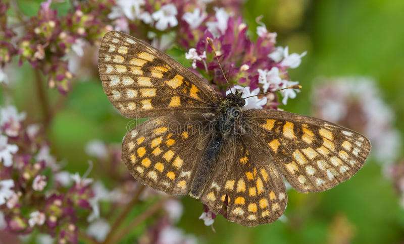Maschio della farfalla di athalia di Melitaea della fritillaria della brughiera fotografie stock libere da diritti