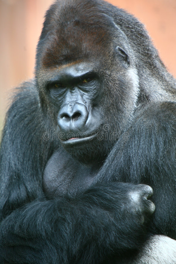 Maschio della gorilla fotografie stock libere da diritti