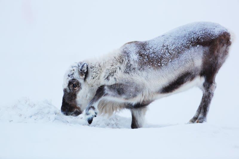 Maschio della renna polare su ghiaccio fotografia stock