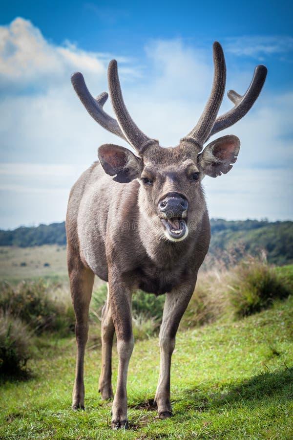 Maschio dello Sri Lanka dei cervi del sambar fotografia stock libera da diritti