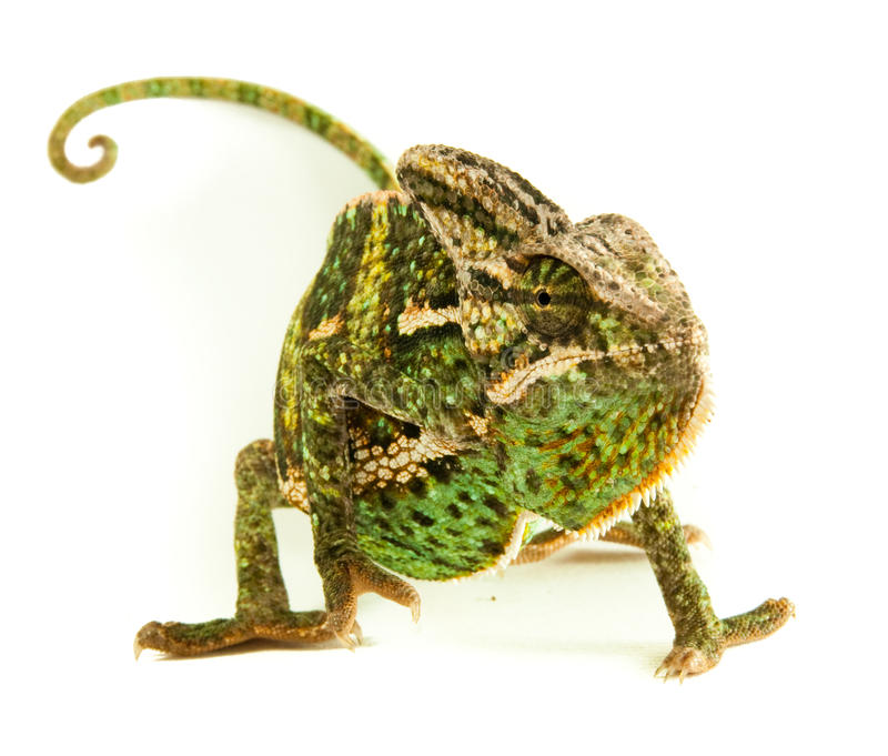 Maschio di Chamealeo Chalyptratus immagine stock