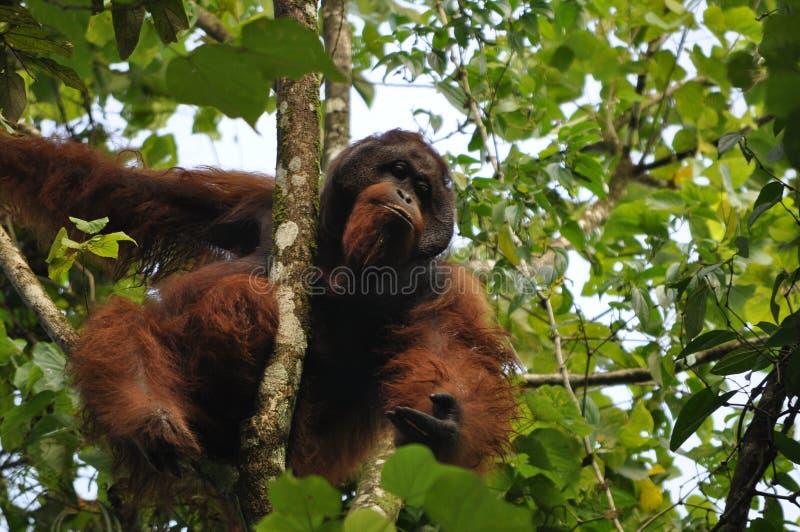 Maschio dominante dell'orango utan fotografia stock libera da diritti