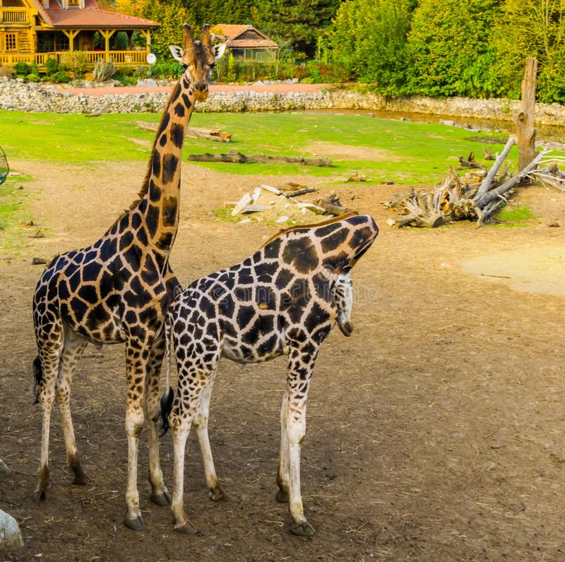 Maschio e coppie femminili della giraffa che stanno insieme vicino, animali popolari dello zoo, specie in pericolo di estinzione  immagini stock libere da diritti