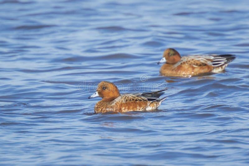 Maschio e penelope euroasiatico femminile di anas del wigeon che nuotano sulla chiara acqua blu fotografia stock libera da diritti