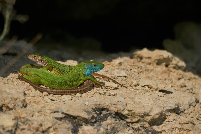 Maschio europeo e femmina delle lucertole verdi su una roccia immagini stock