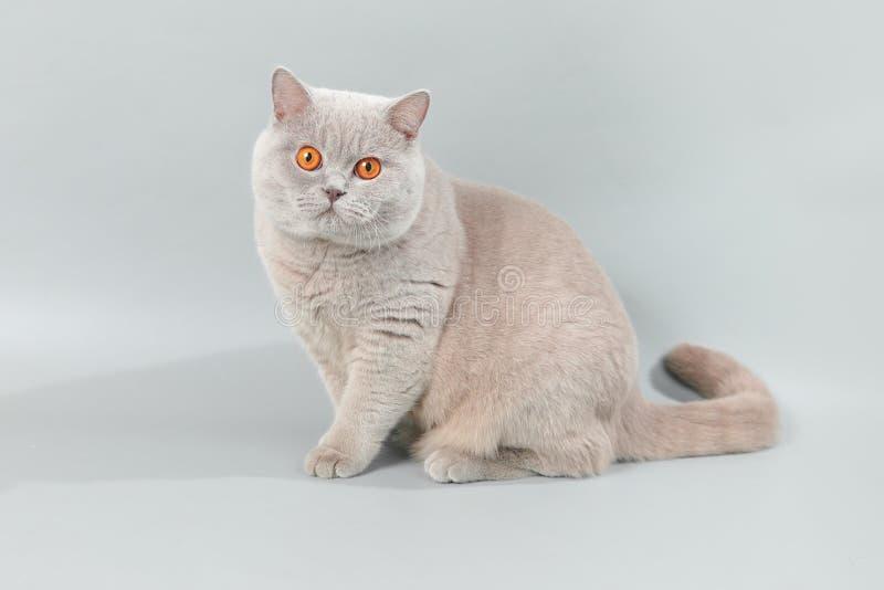 Maschio lilla di Britannici Shorthair fotografia stock