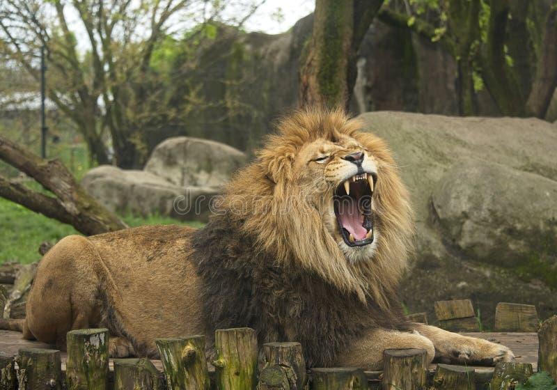 Maschio Lion Roars Ferociously allo zoo immagini stock libere da diritti