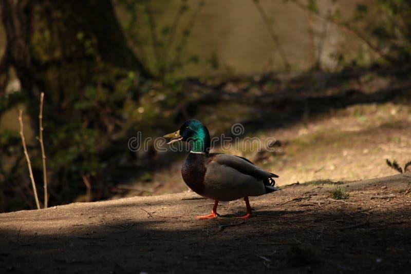Maschio Mallard Duck Chatting fotografia stock libera da diritti