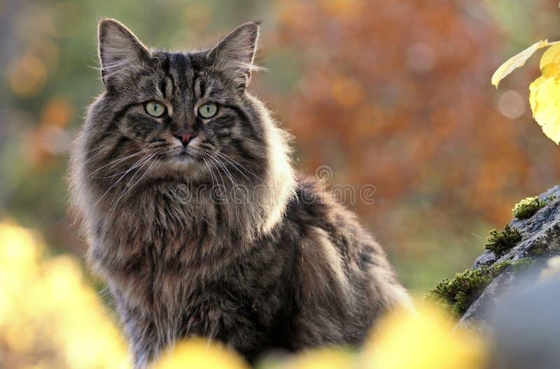 Maschio norvegese del gatto della foresta fotografia stock for Gatto della foresta norvegese
