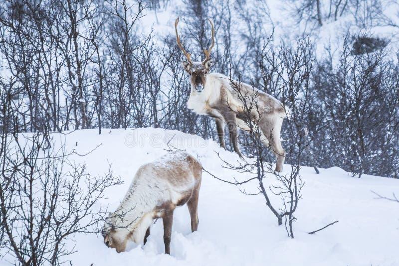 Maschio selvaggio scandinavo e condizione femminile i del caribù o della renna immagine stock