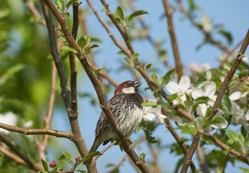 Maschio spagnolo del passero in un ciliegio con i fiori bianchi nello sproing immagine stock
