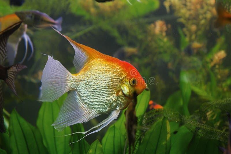 Masculino anglicano, raza de raza acuática artificial de escalare silvestre Pterofillum silvestre cicllid en rara coloración Koi, foto de archivo