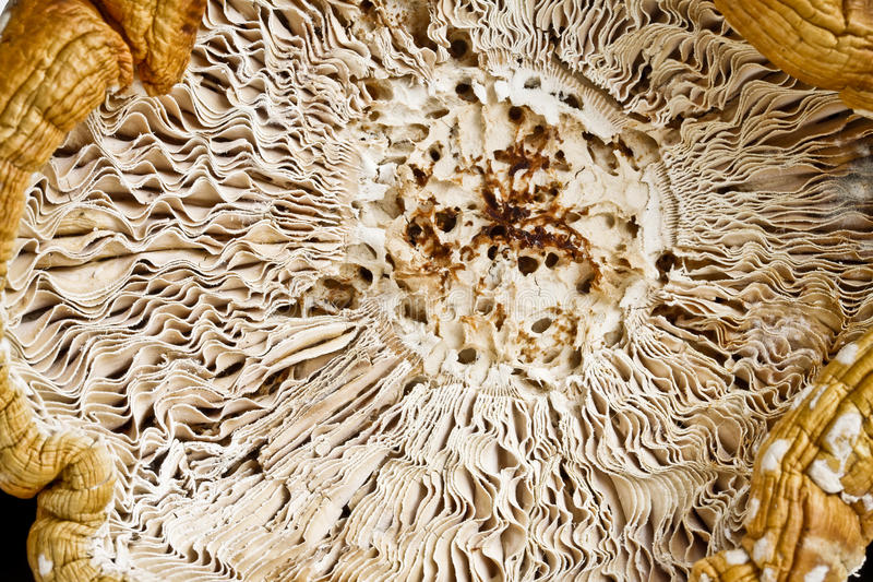 Mashroom de Muscaria de la amanita imagenes de archivo