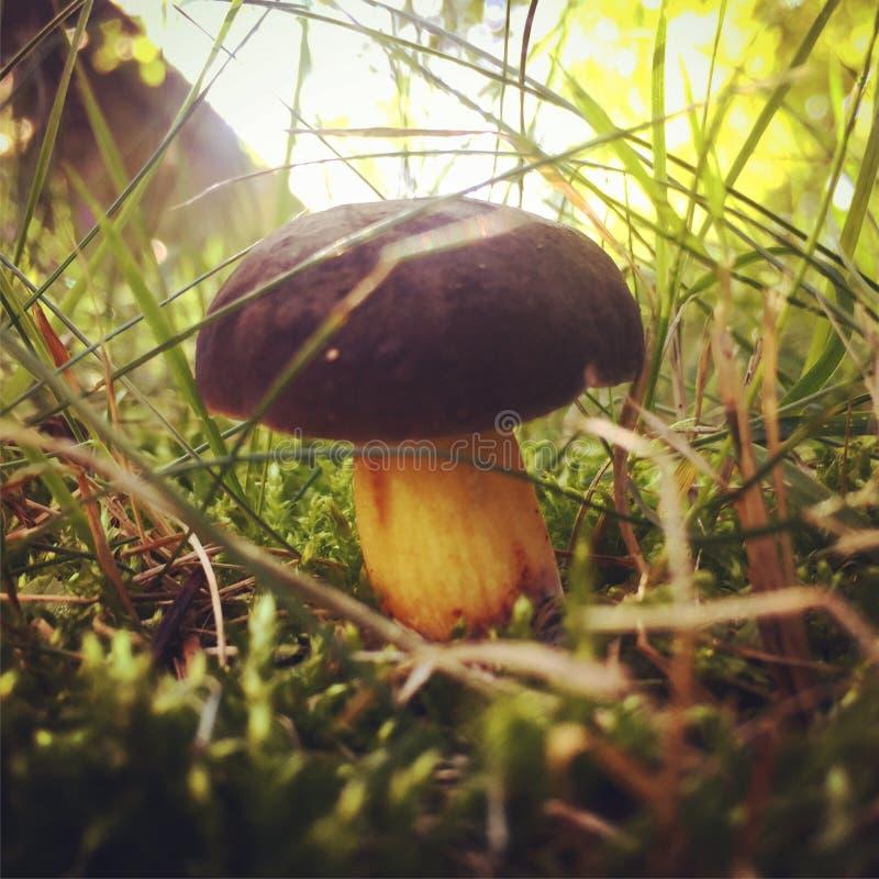 Mashroom in the Grass stock image