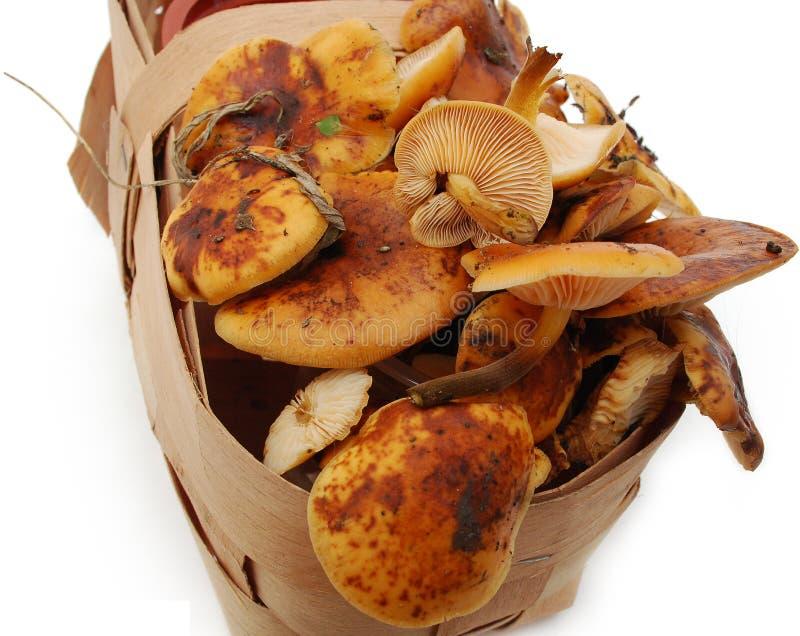 Mashrooms freschi fotografie stock
