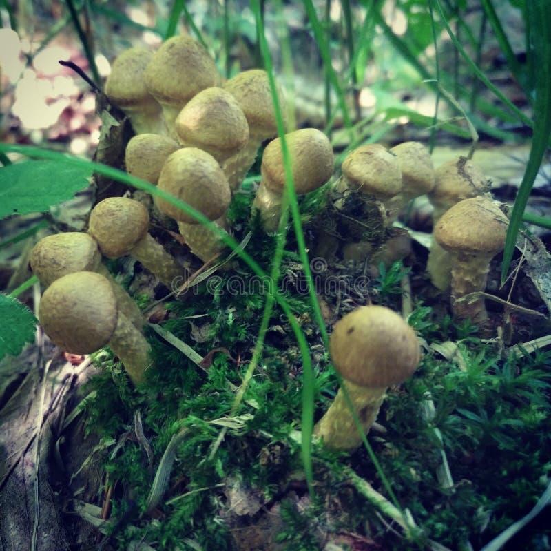 Mashrooms  wood hunting stock photography