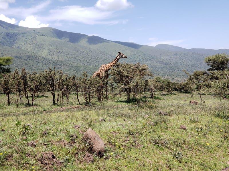 Masi Giraffe Grazing on Acacia Trees in the Ngorongoro Highlands, Tanzania stock images