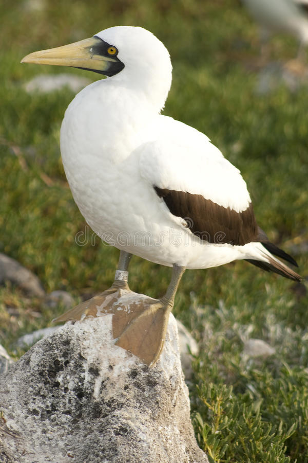 Download Masked Booby Royalty Free Stock Image - Image: 12248996