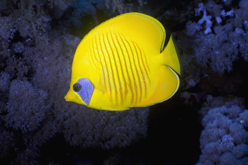 Download Masked Butterfly Fish (Chaetodon Semilarvatus) Stock Photo - Image: 5341670