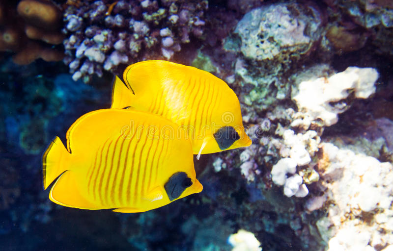 Masked butterflyfish Chaetodon semilarvatus. Couple of Masked butterflyfish Chaetodon semilarvatus, Red Sea, Egypt. Underwater shot in nature stock image