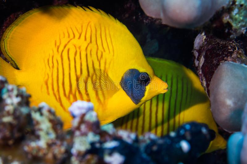 Masked butterflyfish Chaetodon semilarvatus hiding in a crevice. Bright yellow fish with dark patch behind it`s eye and striped markings on the side of the stock photo