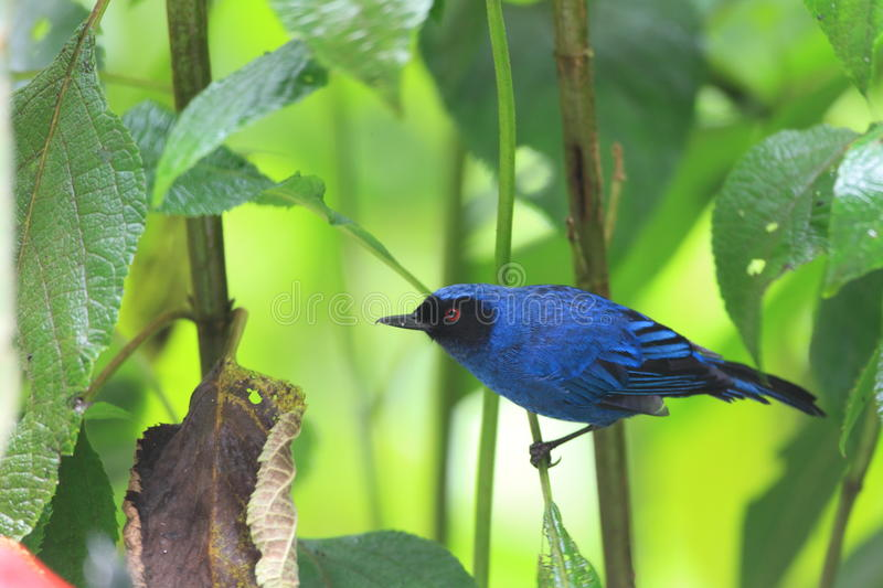 Download Masked Flowerpiercer stock image. Image of piercer, ecuador - 39508669