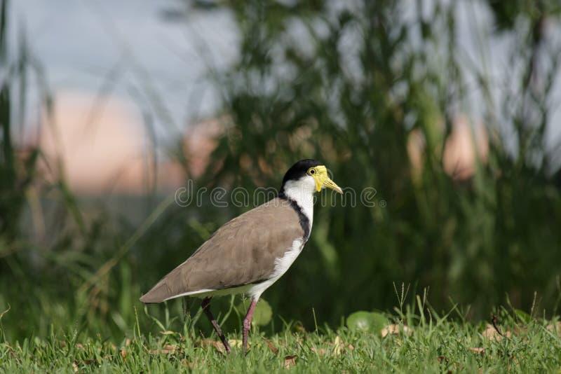 Download Masked Lapwing (Vanellus Miles) Stock Photo - Image: 18228260