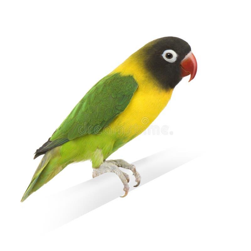 Download Masked Lovebird - Agapornis Personata Stock Image - Image: 6607875