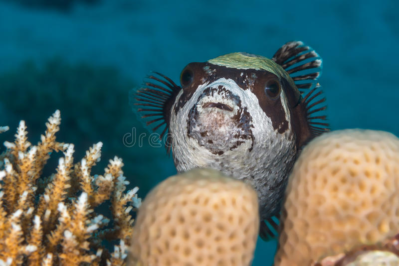 Masked Puffer fish stock photos