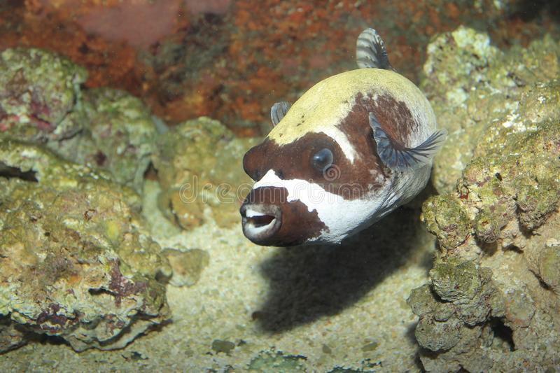Masked puffer. Floating in water royalty free stock image