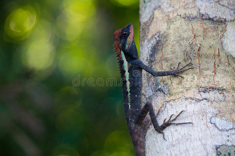 Masked spiny lizard. On a tree in Khao Lak - Lamru national park royalty free stock photography