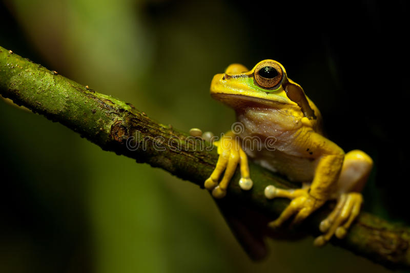 Download Masked tree frog stock photo. Image of frontal, branch - 20731810