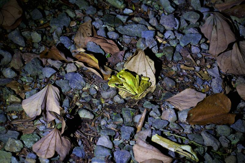 Masked Tree Frogs Mating  837842 royalty free stock images