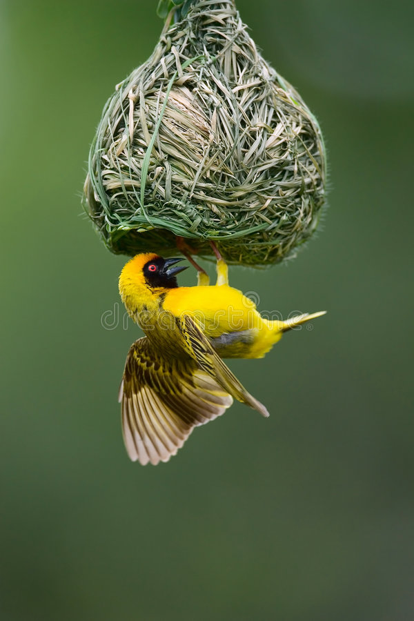 Masked Weaver. Ploceus Velatus; hanging upside down from nest; South Africa royalty free stock images