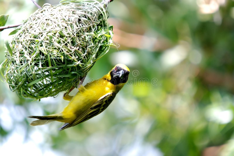 Masked Weaver. Image of masked weaver bird building its nest royalty free stock images