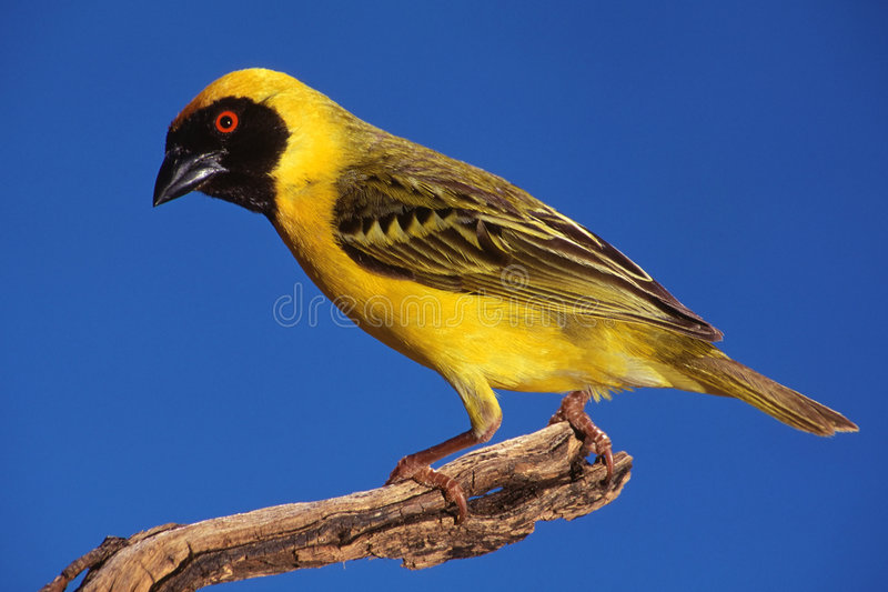 Masked Weaver. Male masked weaver (Ploceus velatus) perched on a branch, South Africa royalty free stock images