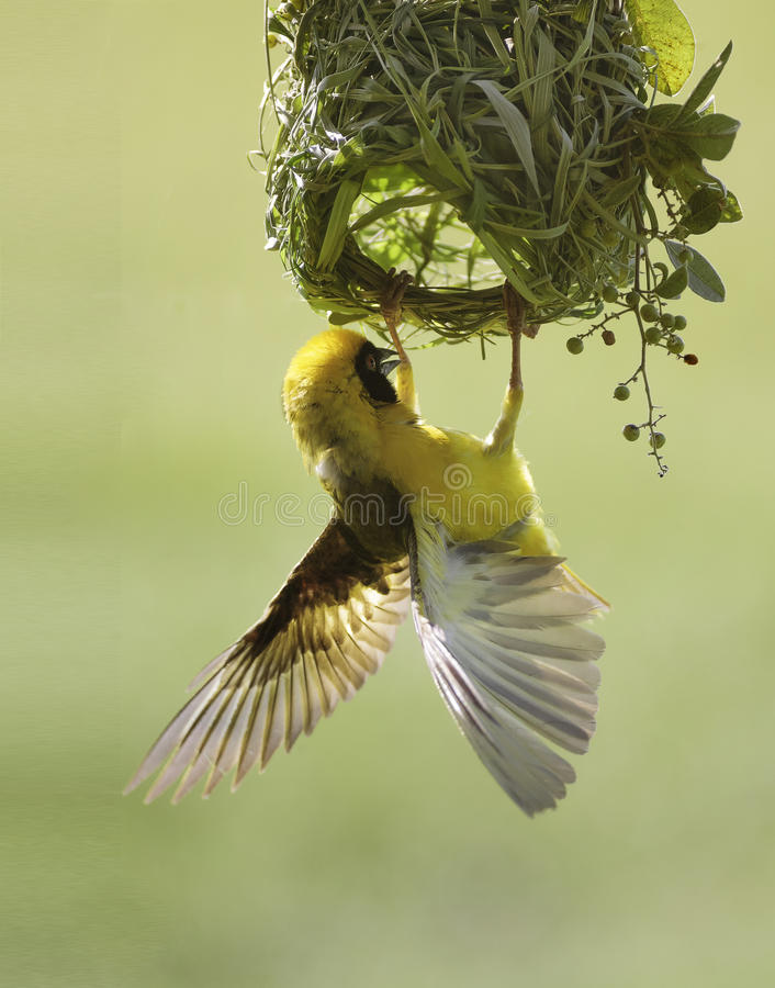 Masked Weaver. Brightly Coloured Male Masked Weaver Building His Grass Nest stock photography