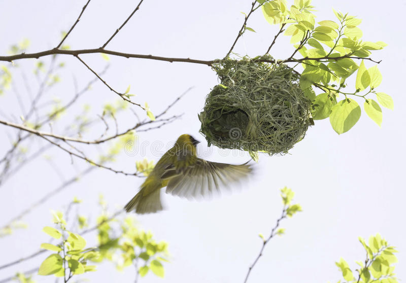 Masked Weaver in flight at nest. The Masked Weaver is a common bird in South Africa and builds its nest from hanging branches stock photo
