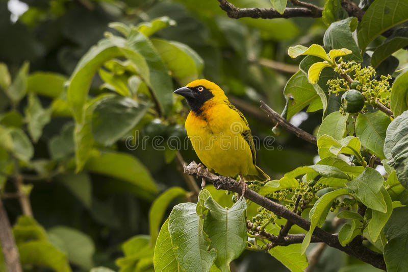 Masked weaver. On the tree in Ngorongoro National Park in Tanzania. Africa. Ngorongoro Crater, Ngorongoro Conservation Area stock photography