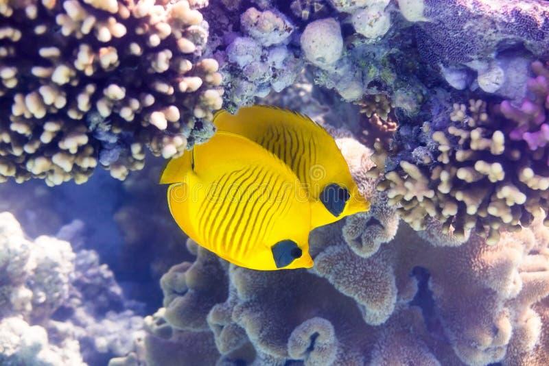 Maskenfalterfische - Bluecheek butterflyfish och korall arkivbild