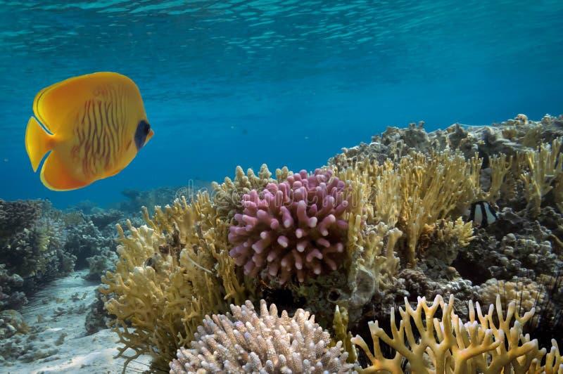 Maskerad fjärilsfisk och korallrev arkivbild