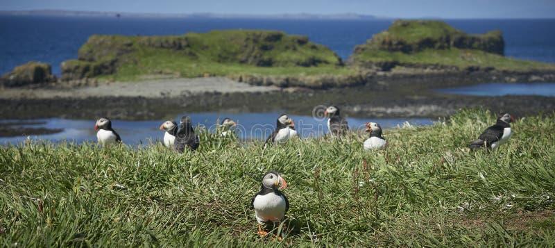 * maskonurów ptaki na Lunga wyspy Treshnish wyspie Wewnętrzny Hebridies obrazy stock