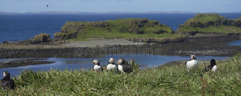 * maskonurów ptaki na Lunga wyspy Treshnish wyspie Wewnętrzny Hebridies zdjęcia royalty free