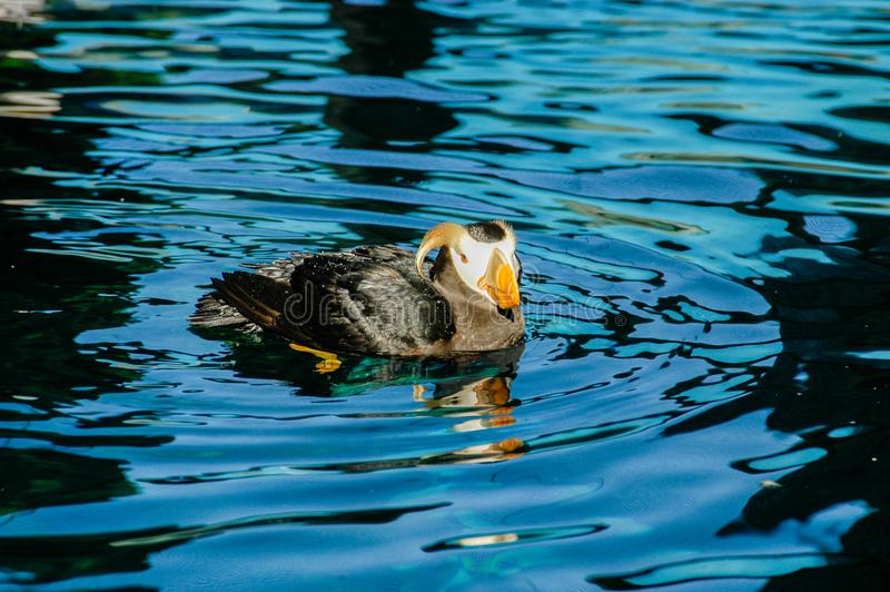 Maskonura ptak - Alaska zdjęcie royalty free