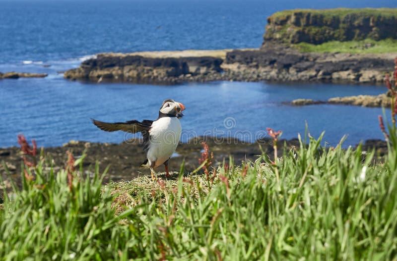 Maskonura ptak na Lunga wyspy Treshnish wyspie Wewnętrzny Hebridies fotografia stock